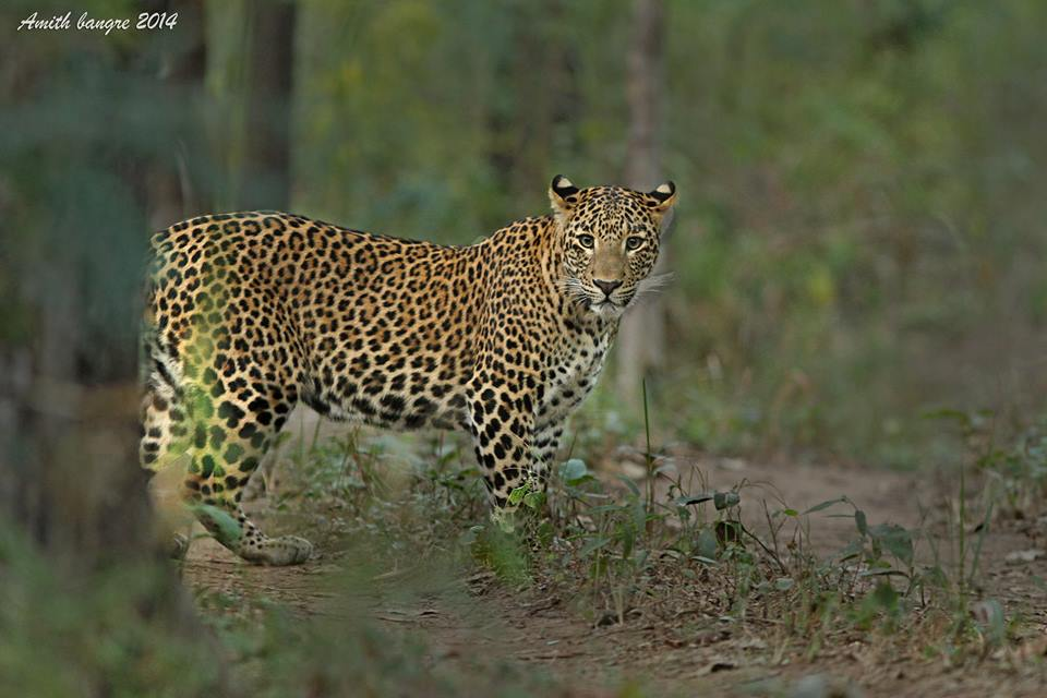 satpura tiger reserve - Tiger Eyes on you