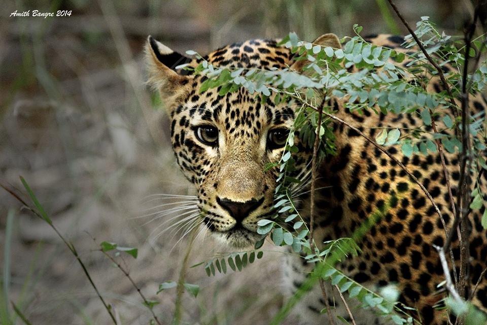 satpura tiger reserve - Tiger Eyes on you