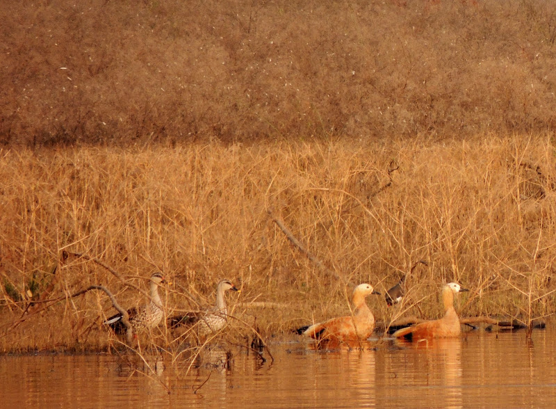 Satpura tiger reserve, Satpura National Park - Spot Billed Ducks and Ruddy Shelducks, together, in pairs