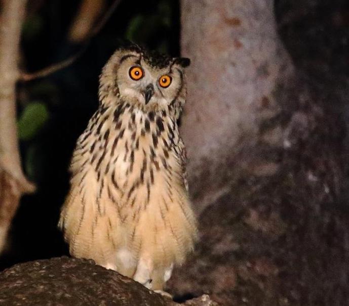 satpura owl